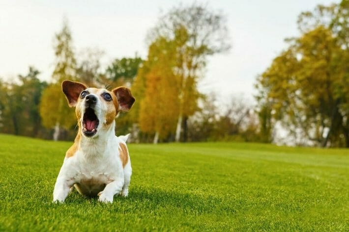 A small jack russell terrier in the park barking and running towards the camera