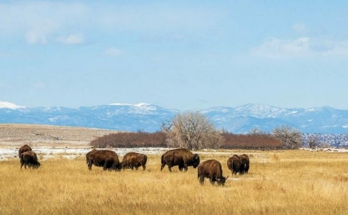 A small herd of buffalo grazing in a field at the Rocky Mountain Arsenal Wildlife Refuge in Denver, CO